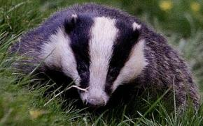 Unjust Badger Cull